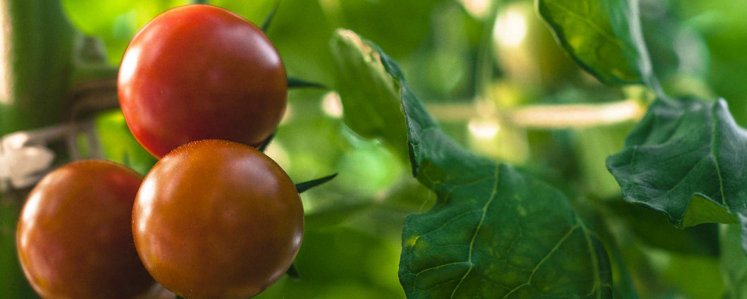 comment planter des tomates cerises elegant tomates cerises choix de varits disponibles with. Black Bedroom Furniture Sets. Home Design Ideas