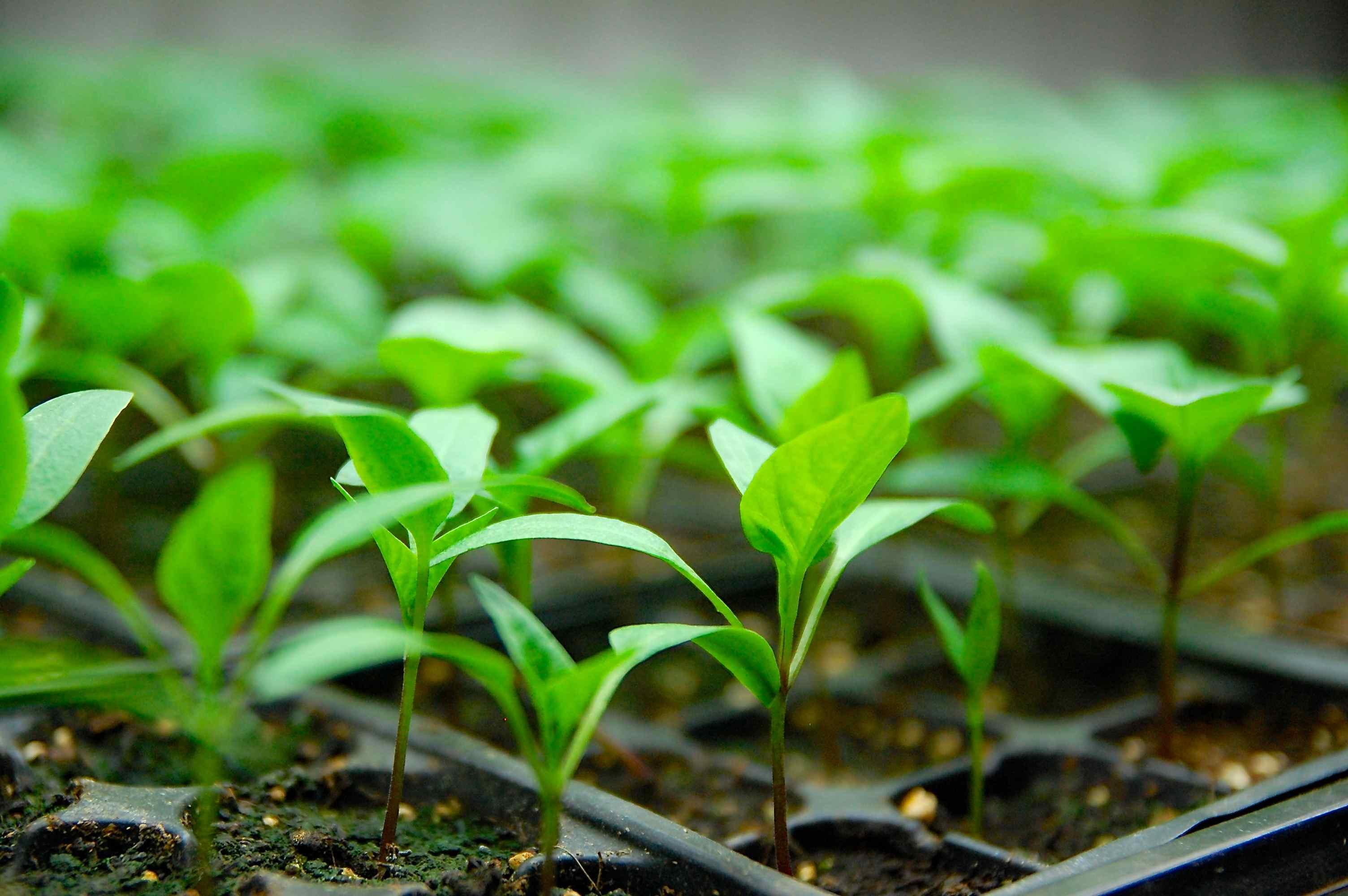 Ferme aux petits oignons vente de plants - Plant de rhubarbe a vendre ...
