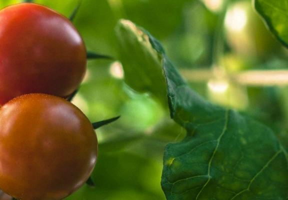 Ferme-petits-oignons-tomates-cerises